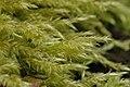 Brachythecium.velutinum.jpg
