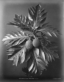 a black and white photo of a breadfruit c 1870