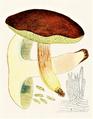 Bresadola - Boletus ferrugineus.png