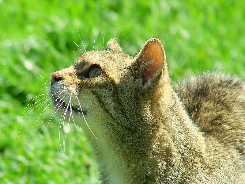 """British Wild Cat"" by Reg Mckenna from UK - British Wild Cat. Licensed under CC BY 2.0 via Wikimedia Commons - https://commons.wikimedia.org/wiki/File:British_Wild_Cat.jpg#/media/File:British_Wild_Cat.jpg"