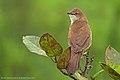Broad-Tailed Grassbird 1.jpg