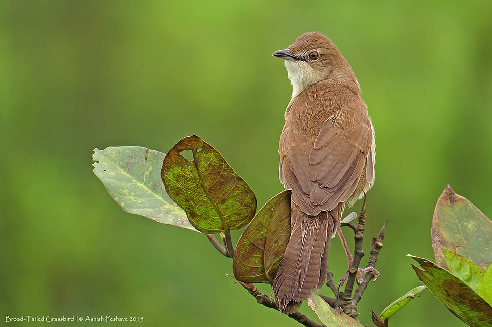 Broad-Tailed Grassbird 1