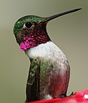 Broad-tailed hummingbird - panoramio.jpg