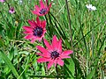 Broad Leaved Anémone (Anemone hortensis) (8338452732).jpg