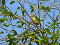Brown-headed Barbet - Megalaima zeylanica - P1030231.jpg