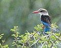 Brown-hooded Kingfisher (Halcyon albiventris) (46169761092).jpg