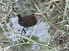 Brown Crake I IMG 9603.jpg