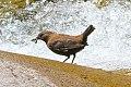 Brown Dipper (Cinclus pallasii) (8079418916).jpg