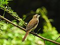 Brown shrike തവിടൻ ഷ്രൈക്ക് (Lanius cristatus) 2.jpg
