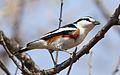 Brubru, Nilaus afer, at Pilanesberg National Park, Northwest Province, South Africa (29688553686).jpg