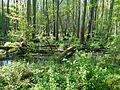 Bruchwald (Plauer Stadtwald).JPG