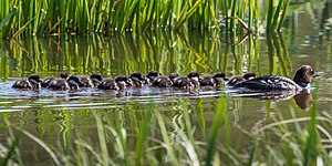Common goldeneye - Female Busephala clangula with chicks