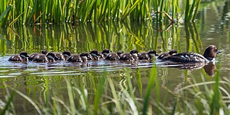 Common goldeneye - Female goldeneye with chicks