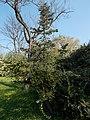 Budai Arborétum. Felső kert. Spanyol jegenyefenyő (andalúz jegenyefenyő, Abies pinsapo). - Budapest XI. kerület.JPG