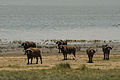 Buffaloes Manyara.jpg