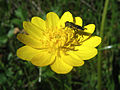 Bug On A Buttercup by D. Endico.jpg