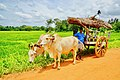 Bullock cart used for transporting good and people in rural Sri Lanka.jpg