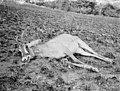 Bundesarchiv Bild 105-DOA0819, Deutsch-Ostafrika, erlegtes Wild.jpg