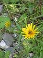 Buphthalmum salicifolium001.jpg