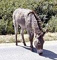 Burro, Custer State Park, SD 1981 (6378911873).jpg