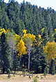Bursts of yellow Aspen amid green pine (3971475629).jpg
