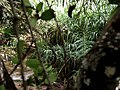 Buskett forest - panoramio (1).jpg