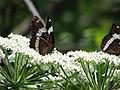 Butterfly (2690369122).jpg