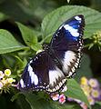 Butterfly 1s (5662995980).jpg