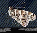 Butterfly on net (Lepidoptera) (25969266821).jpg