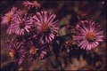 CLOSEUP OF NEW ENGLAND ASTER (NOVAE ANGLICAE) ALONG RIVERVIEW ROAD AT SNOWVILLE ROAD NEAR BRECKSVILLE AND CLEVELAND... - NARA - 558075.tif