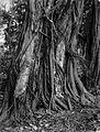 COLLECTIE TROPENMUSEUM De boom Gummi Arabicum waar arabisch gom van wordt gemaakt. TMnr 60005564.jpg