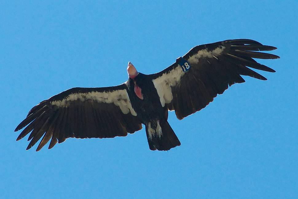 California Condor Pinnacles NM 2