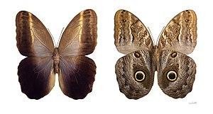 Owl butterfly - Caligo teucer - MHNT