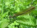 Calopteryx splendens (1).jpg