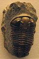 CalymeneBlumenbachii-NaturalHistoryMuseum-August23-08.jpg