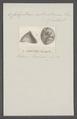 Calyptraea extinctorium - - Print - Iconographia Zoologica - Special Collections University of Amsterdam - UBAINV0274 082 06 0003.tif