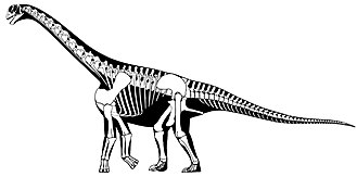 Camarasauridae - Skeletal restoration of Camarasaurus supremus.