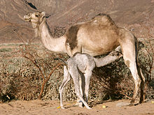 Camelcalf-feeding.jpg