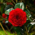 Camellia × williamsii 'Roger Hall'. Locatie, Tuinreservaat Jonkervallei 03.jpg