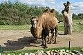 Camelus bactrianus in Dierenpark Zie-ZOO (2).jpg