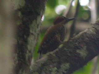 Brown-eared woodpecker species of bird