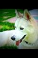 Cani Siberian husky - Nuvola.PNG