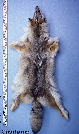 Fur of a Canadian coyote Canis latrans (Kanada) fur skin.jpg