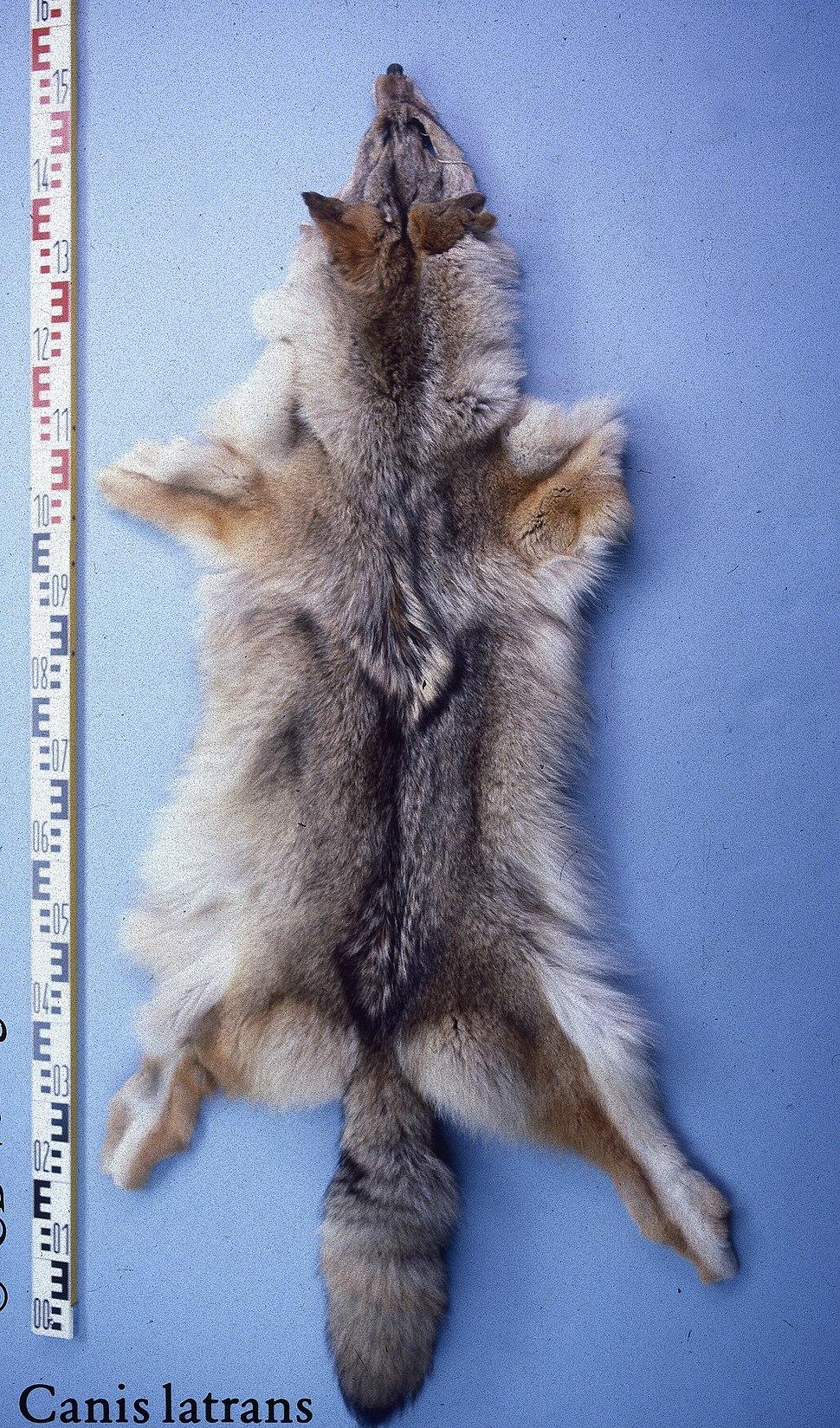 Canis latrans (Kanada) fur skin