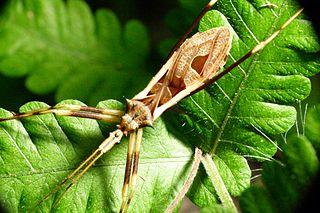 Stenopodainae subfamily of insects