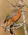 Cape Rock Thrush, Monticola rupestris, at Walter Sisulu National Botanical Garden, Gauteng, South Africa (28786055084).jpg