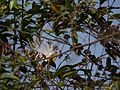 Capparis moonii (5553372132).jpg