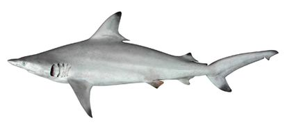 Blacktip shark - Wikipedia