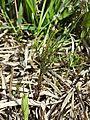 Cardamine parviflora sl2.jpg
