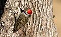 Cardinal Woodpecker - MALE, Dendropicos fuscescens at Pilanesberg National Park, Northwest Province, South Africa (15091969955).jpg